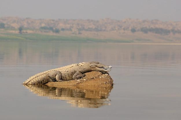 Cocodrilo asaltante en el río