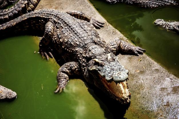 Los cocodrilos son la boca está abierta en la granja.