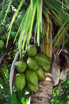 Cocos colgando del árbol.