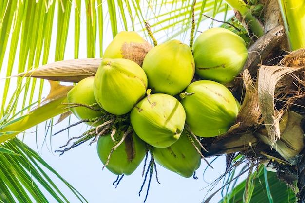 Cocos verdes en racimo