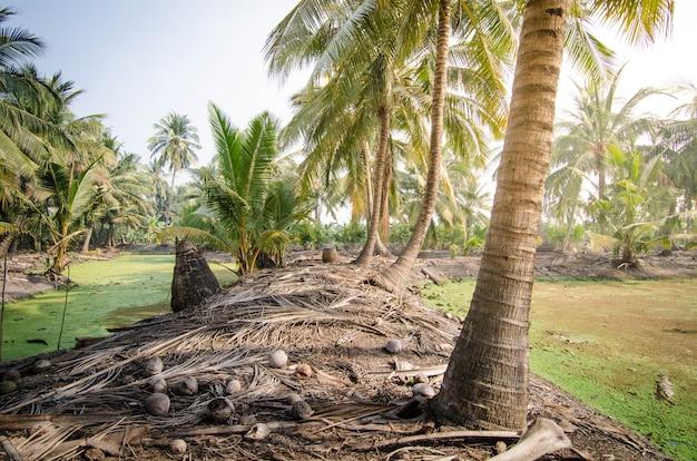 Cocotero en granja de coco en el día de verano con estanque pequeño