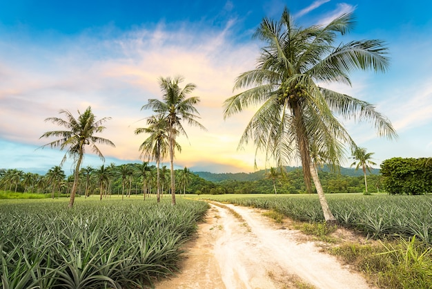 Cocotero y piña en paisaje agrícola