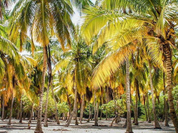 Cocotero en la playa del mar caribe. palm island. mar, playa y cielo azules. descanso de verano.