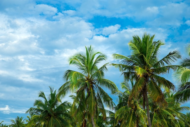 Cocoteros, hermoso fondo tropical