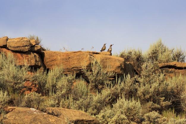 Codorniz del desierto en utah
