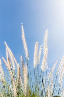 Cogon hierba sobre fondo de cielo azul