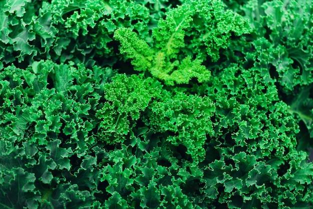 Col rizada orgánica fresca. verde, concepto de alimentación saludable, comida vegetariana. copia espacio