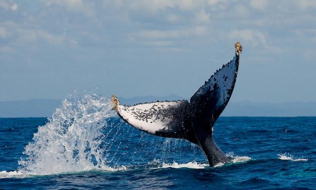 La cola de la ballena jorobada. madagascar. isla de santa maría.