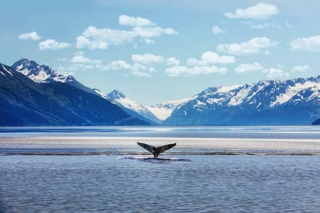 Cola de ballena jorobada con montañas heladas en alaska
