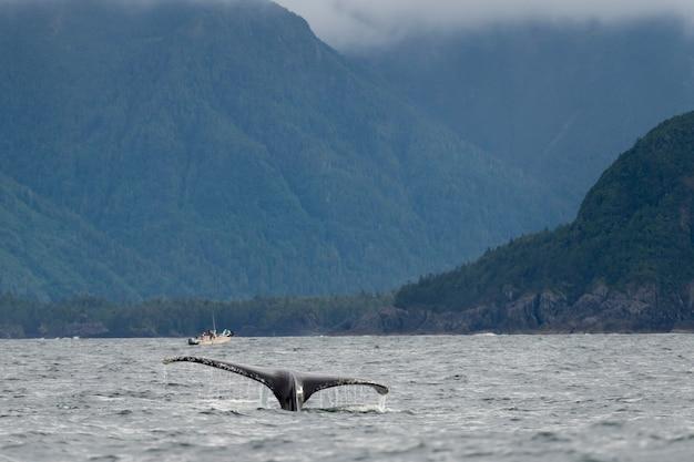 Cola de ballena en el océano pacífico, distrito regional skeena-queen charlotte, haida gwaii, graham isl