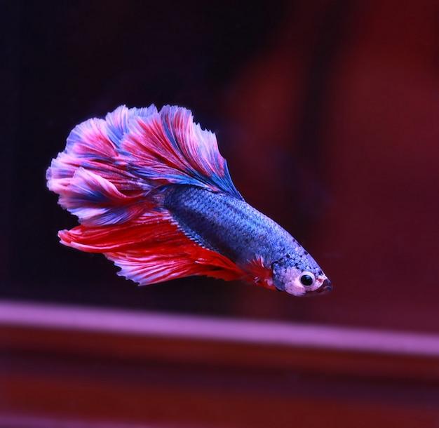 Cola de pez beta rojo blanco nadar en tanque de agua