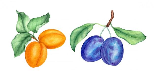 Colección de acuarela vintage de frutas con ciruelas y albaricoques