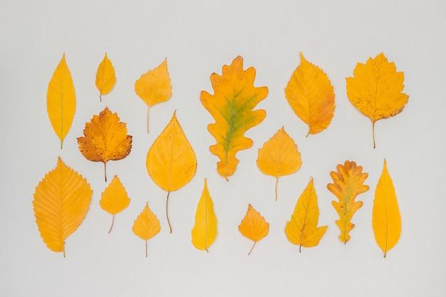 Colección, conjunto de hojas amarillas de otoño sobre fondo gris, fondo de pantalla de otoño.