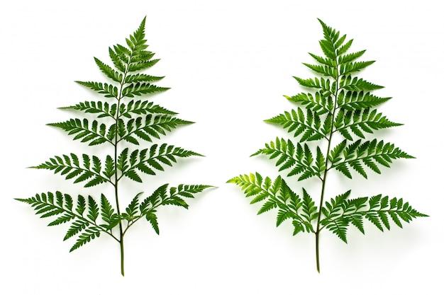 Colección de hojas de helecho verde aisladas sobre fondo blanco