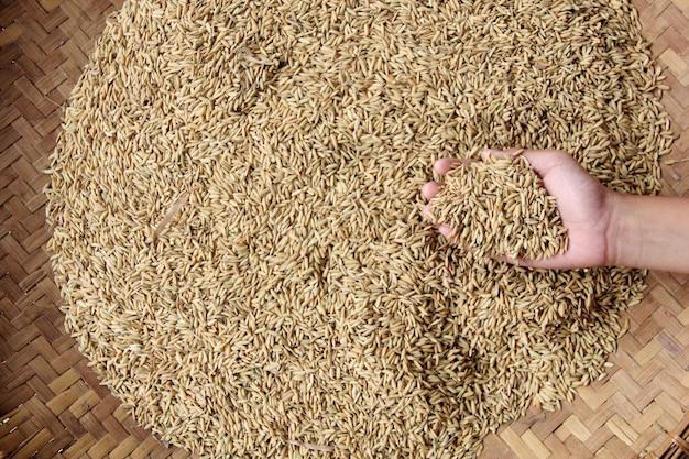 Una colección de semillas de arroz en la mano.