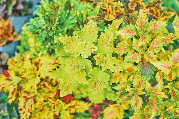 Coleo coleus brillante. floreciendo en una cama de flores de la ciudad.