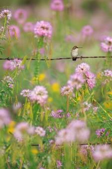 Colibrí con flores silvestres y cerca de alambre de púas vertical