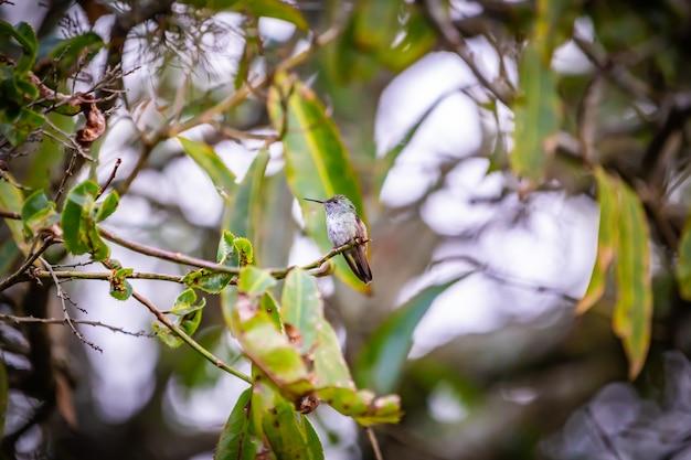 Colibrí sombrío (aphantochroa cirrochloris) aka beija-flor cinza de pie en un árbol en brasil