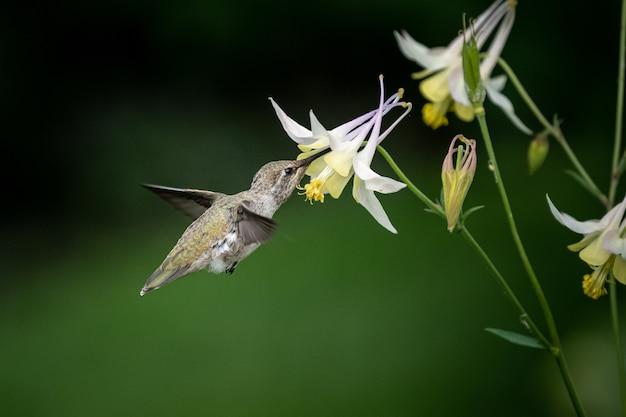 Colibrí volando a las flores de narciso blanco
