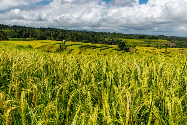 Colinas de orejas de arroz maduro en un día soleado. paisaje de terrazas de arroz.