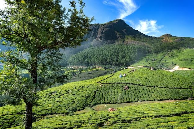 Colinas y plantaciones de te en kerala