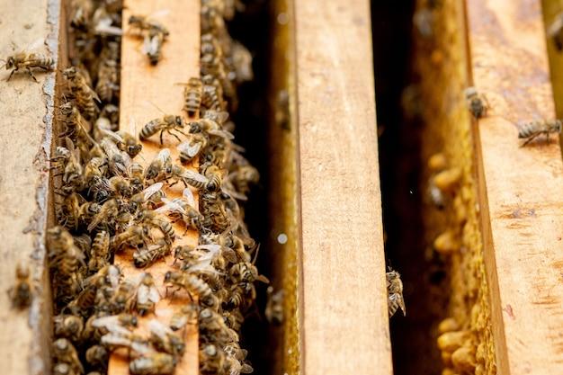 Colmenas de abejas en el cuidado de las abejas con panales y abejas melíferas. el apicultor abrió la colmena para establecer un marco vacío con cera para la cosecha de miel.