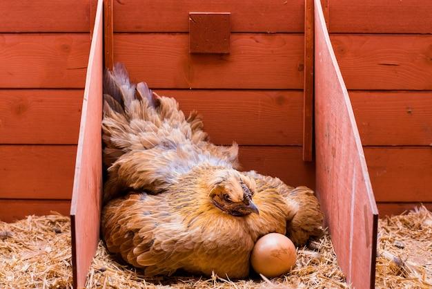 Colocación de gallina roja incubando huevos dentro de su jaula