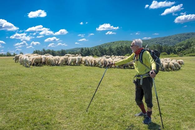 Colocar viejo senderismo masculino en la pradera de montaña con un rebaño de ovejas