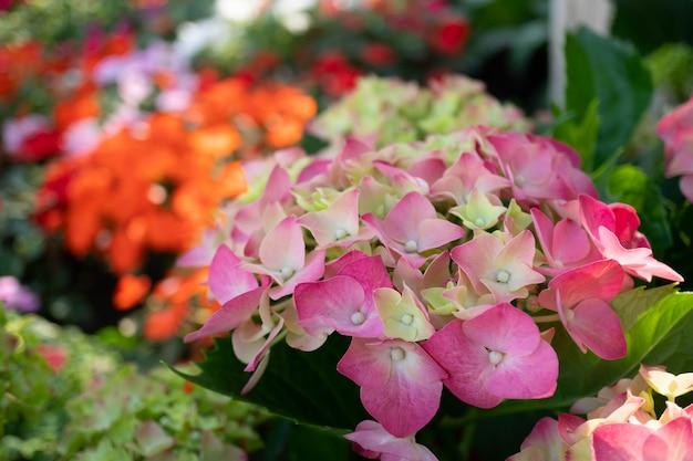 Coloridas flores de gerbera en el jardín.