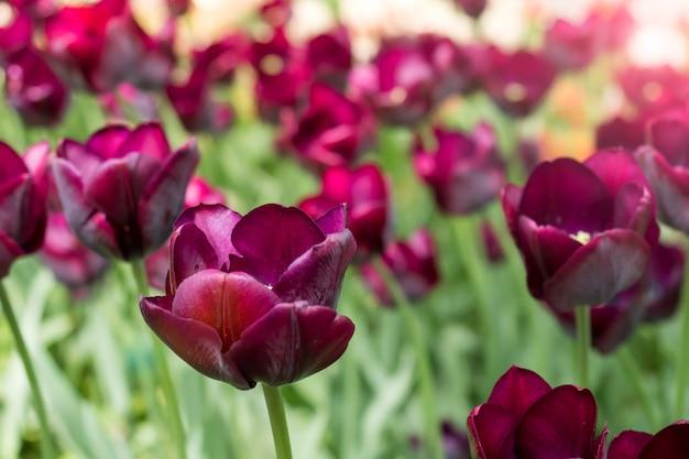 Coloridas flores de tulipanes marrón florecen en un jardín