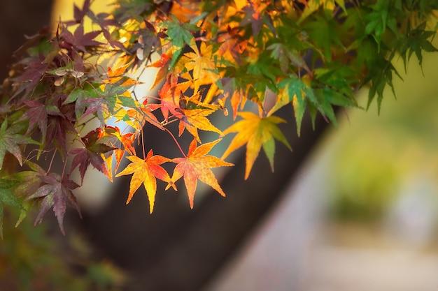 Coloridas hojas de arce japonés (acer palmatum) durante la temporada de momiji