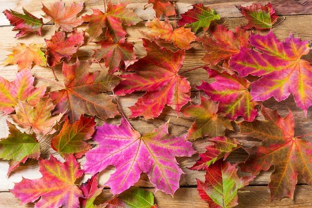 Coloridas hojas de arce de otoño