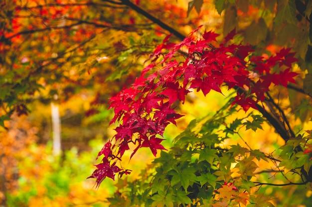 Las coloridas hojas de otoño cambian de color a rojo en japón.