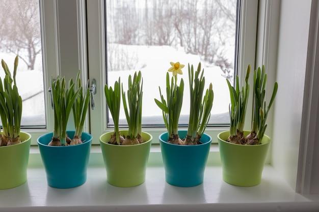 Coloridas macetas de narcisos enanos, narcisos, en un poste de la ventana con nieve afuera. primavera.
