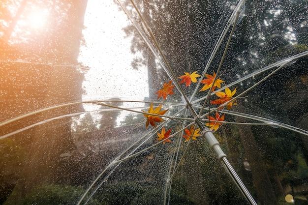 Colorido de arce japonés caído en paraguas