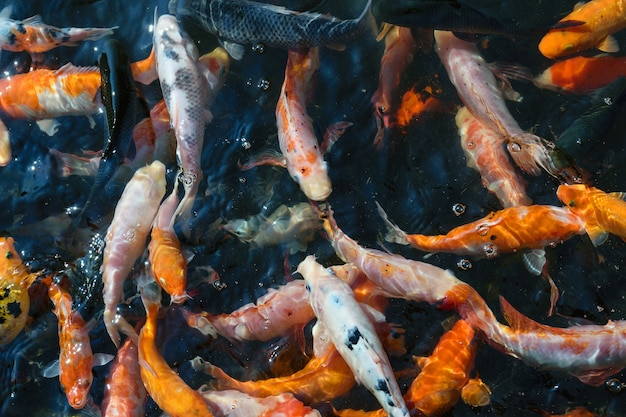 El colorido cultivo de peces koi en estanques.