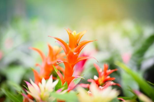 Colorido de la flor de la bromelia decorar en el jardín plantas de vivero de fondo