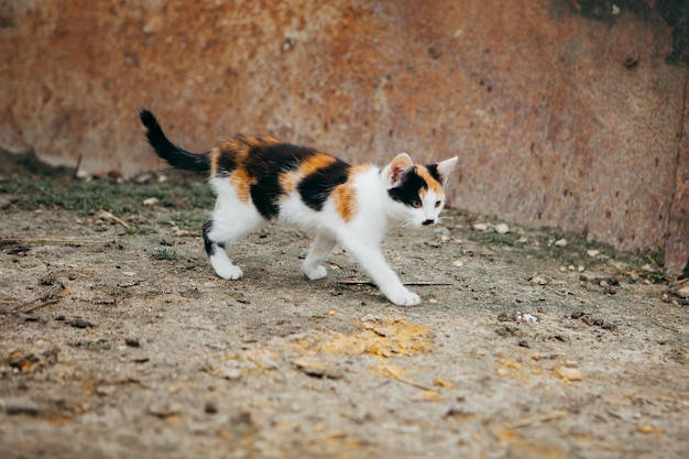 Colorido gato caminando en una granja