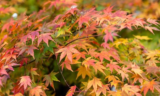 Colorido de las hojas de arce en la temporada de otoño