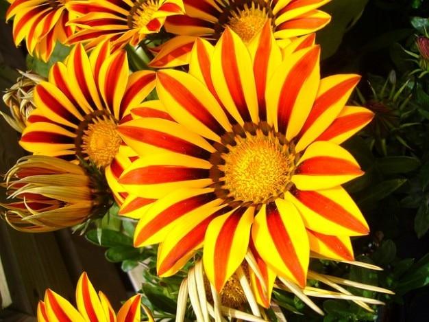 Colorido jardín de flores brillantes gazanias