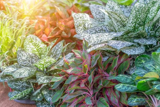 Colorido de las plantas de aglaonema en el jardín. plantas variadas para decoración de belleza y diseño agrícola.