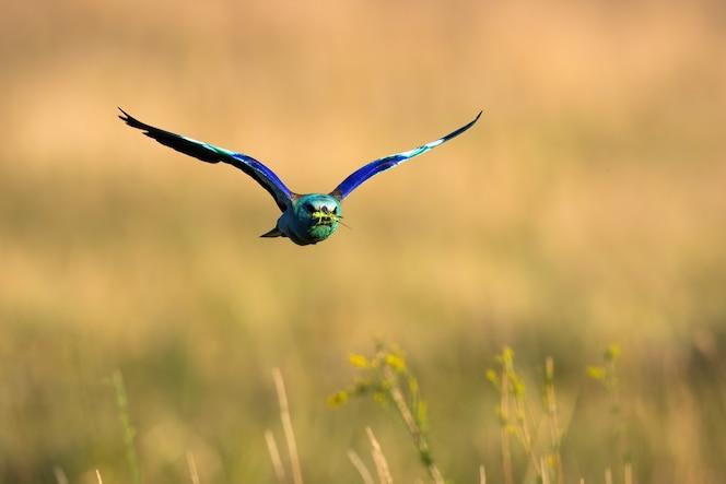 Colorido rodillo europeo volando sobre el campo en verano.