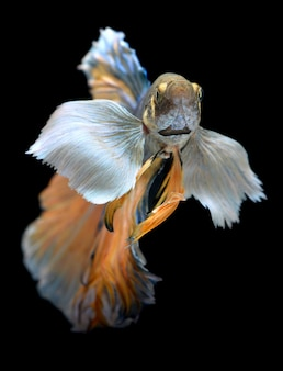 Colorido titubeo de peces luchadores betta saimese