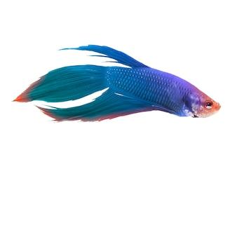 Coloridos peces luchadores o peces siam