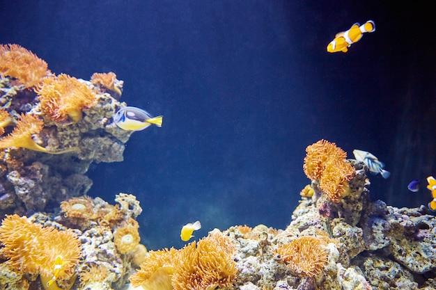 Coloridos peces payaso con piedras