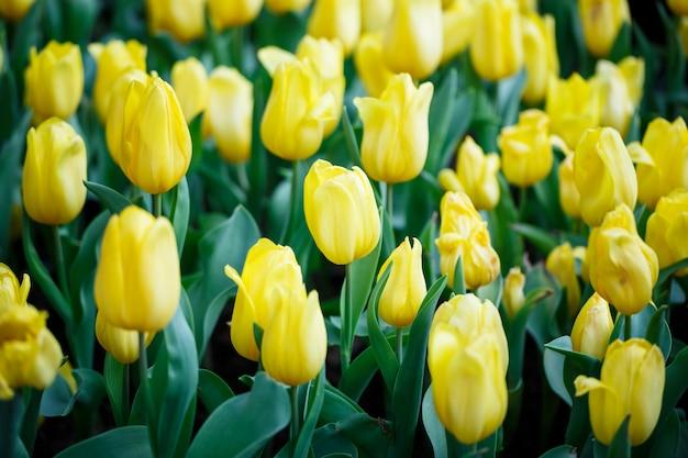 Coloridos tulipanes amarillos frescos en el jardín de flores interior con gotas de agua