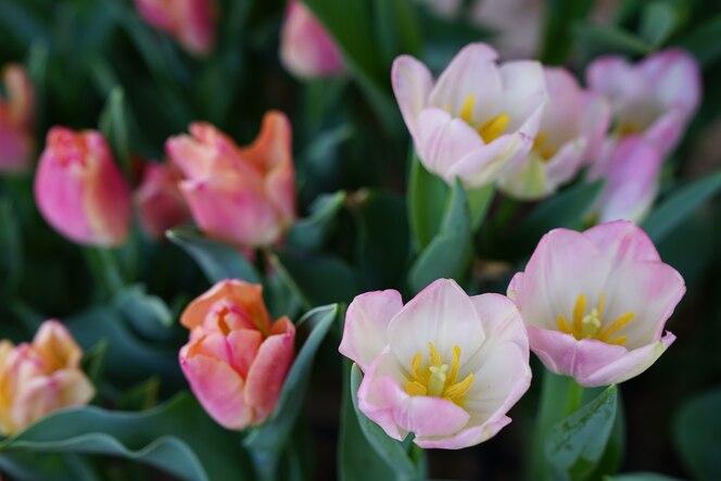 Coloridos tulipanes en el jardín de flores.