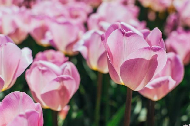Coloridos tulipanes, tulipanes en primavera