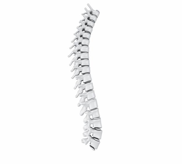 Columna vertebral humana 3d