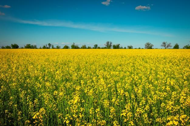 Colza de campo amarillo en flor.